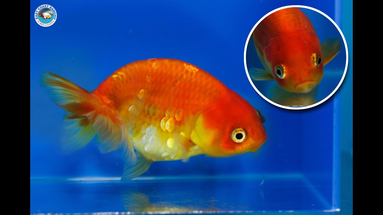 Ranchu goldfish for sale fb732 youtube for Gold fish for sale