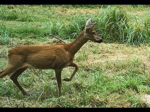 Wilde Tiere Jagen Videos Herunterladen