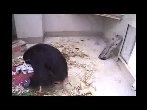 Chimp Eden Nina's Baby's Birth Seen 1-23-13  7:28am Sast video