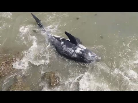 Dolphin Committed Suicide, Stop the Taiji Dolphin Slaughter