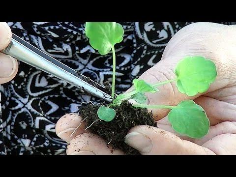 как собрать семена бальзамина видео