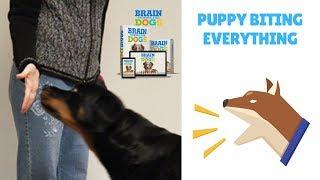 Puppy Biting Everything