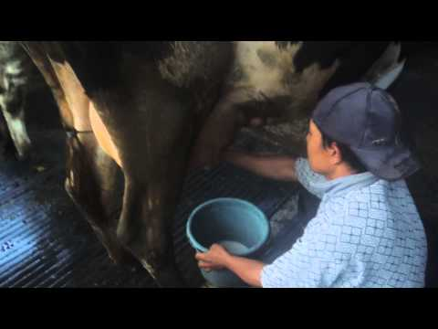 Susu Perah Sukomulyo Pujon