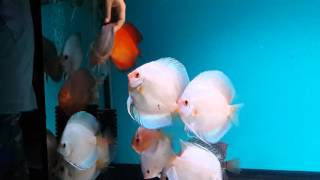 Discus feeding time :)