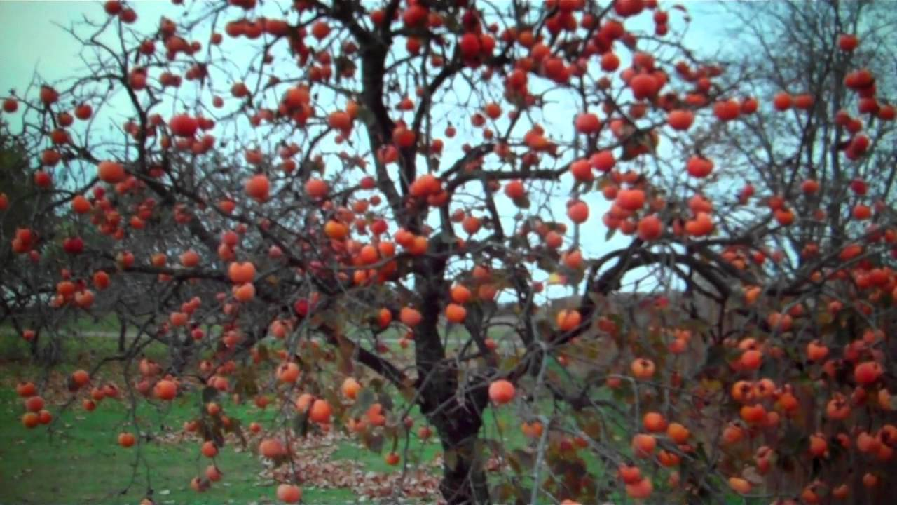 Persimmon Trees For Sale 3 00 From Tn Tree Nursery Youtube