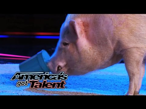 Top Hogs (Mudslinger): Pig Show off His Math Skills - America's Got Talent 2014