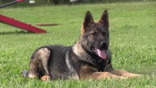 Best German Shepherd Puppy Training