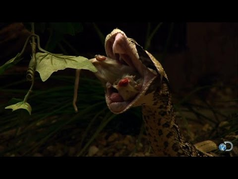 Venomous Snakes | Naked and Afraid