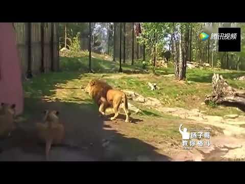 老虎和獅子誰厲害?單論輕功,老虎完虐獅子
