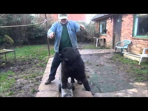 Berkeley And Blue Newfoundland Dog Tricks Movie video