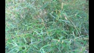 Haiti Jacmel Journals Medicinal Leaves Photo Report