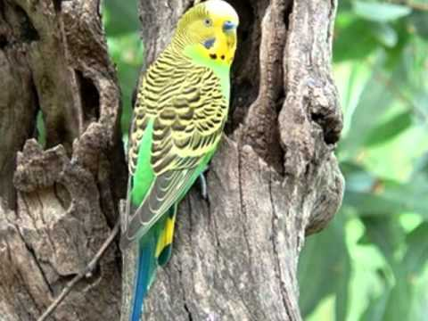 O verdadeiro periquito-australiano. The true budgerigar.
