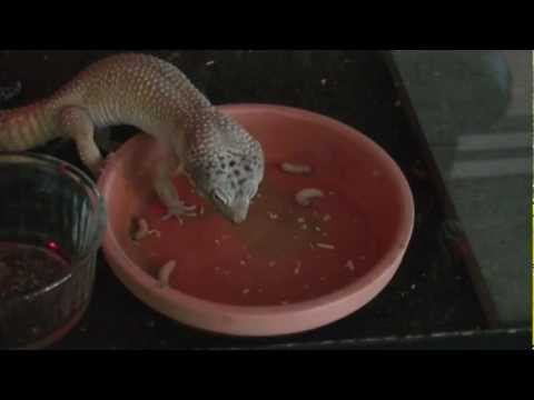Leopard Gecko Eating 21 Wax Worms - WORLD RECORD