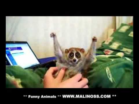 Slow Loris Loves Getting Tickled Http:  bit.ly 14qlq8x video