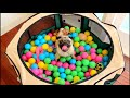 Pug goes crazy in his first ball pit!
