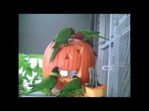 Lorikeets Help Carve a Halloween Pumpkin at the Aquarium of the Pacific