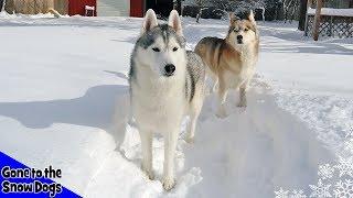 Husky Playing in Snow !  Huskies in DEEP Snow