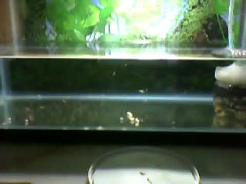 Alimentando alevines de pez cebra