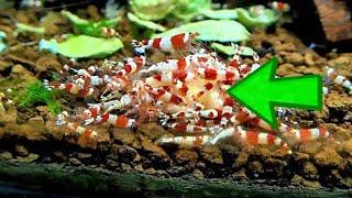 Aquarium Shrimp Versus Food - Banana ⭐⭐⭐⭐⭐