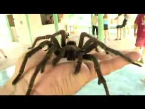 BIG spider - tarantula on my hand