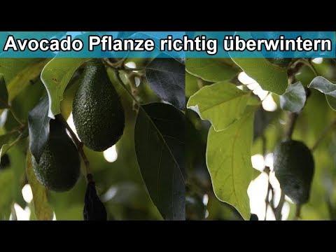 Avocado Pflanze richtig überwintern & was man vermeiden sollte / Avocadobaum im Winter