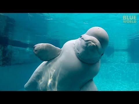 Beluga Whales of the Mystic Aquarium | JONATHAN BIRD'S BLUE WORLD
