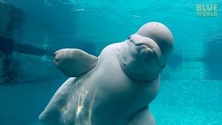 Beluga Whales of the Mystic Aquarium   JONATHAN BIRD'S BLUE WORLD