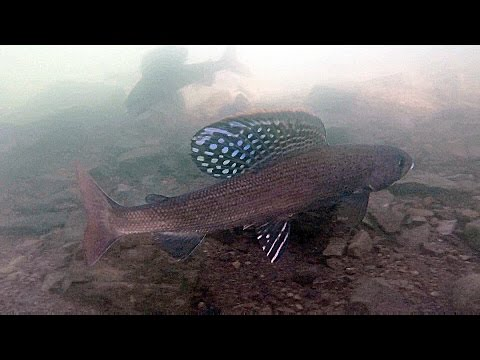 Underwater Footage of Arctic Grayling Spawning [GoPro]