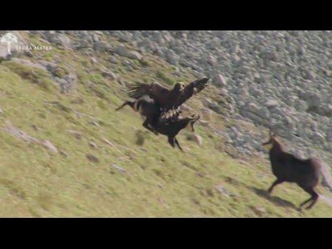 Aετός εναντίον αγριοκάτσικου