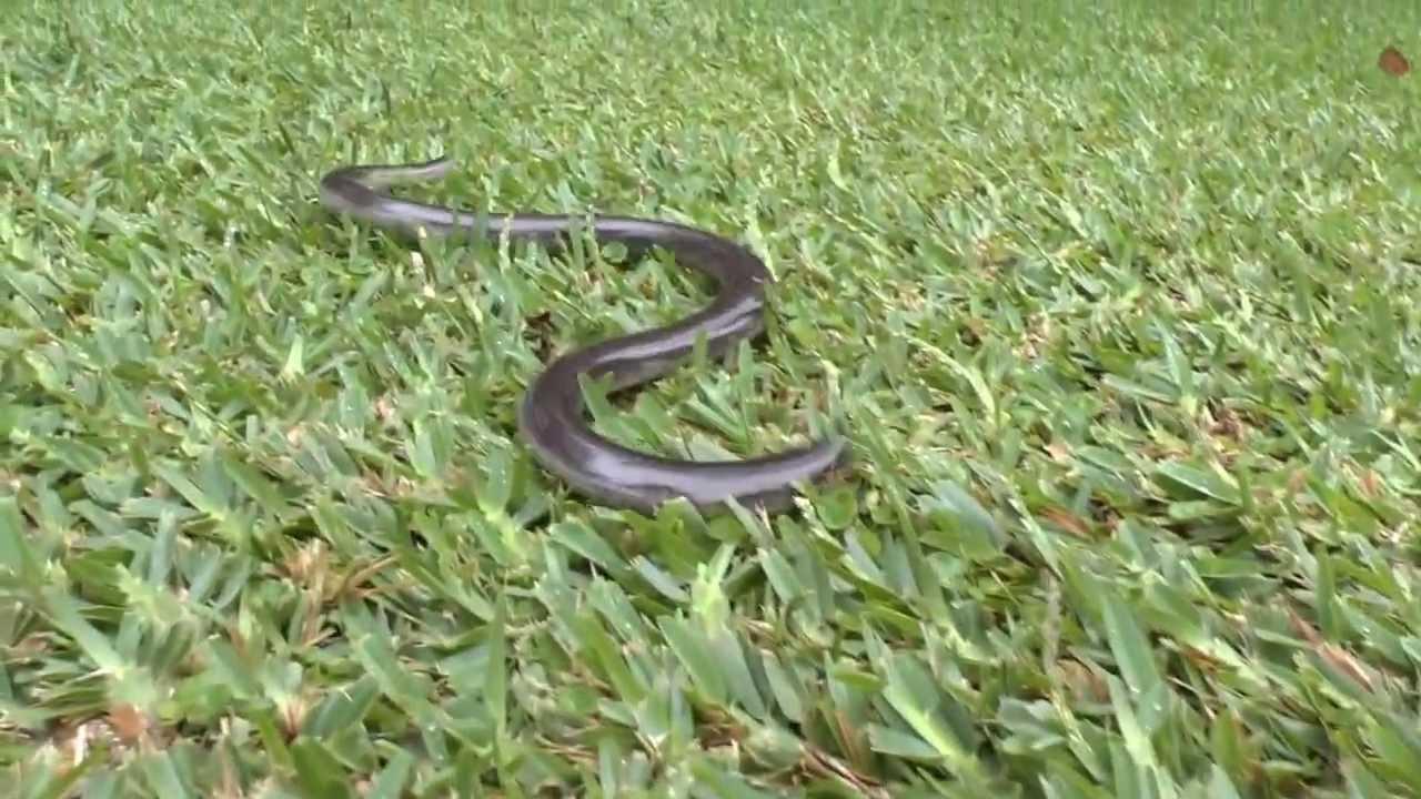 Blind Snake Pet Giant Blind Snake Typhlops