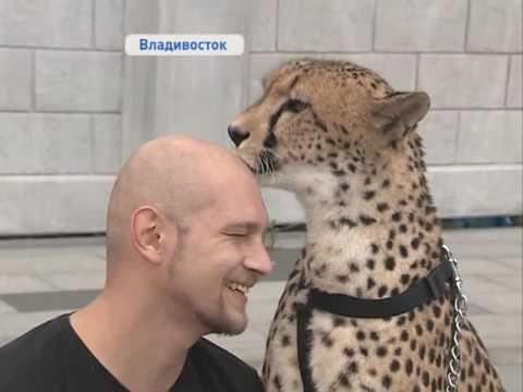 Гепард цирка Шапито вышел на прогулку по Владивостоку