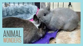 Rabbits Meet!   Will They Be Friends?