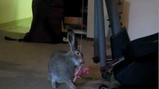 Jackrabbit plays with cat toy