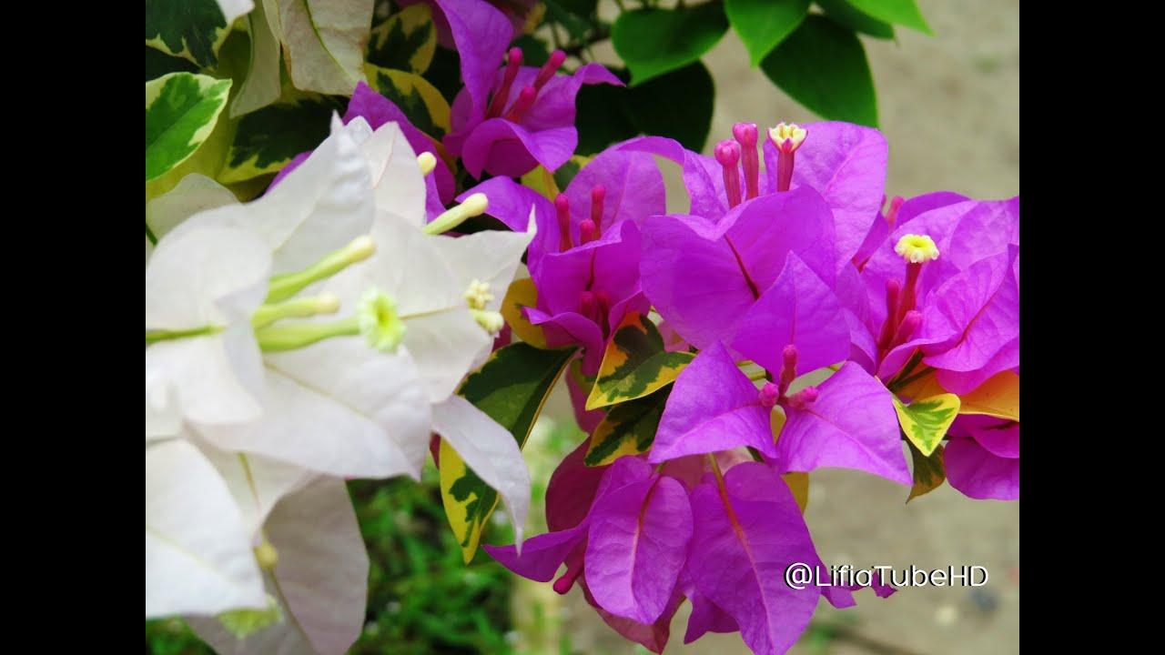 TamanBungaLifiaNialaDanTanamanBungaKertasBougainvillePhotographyYoutube