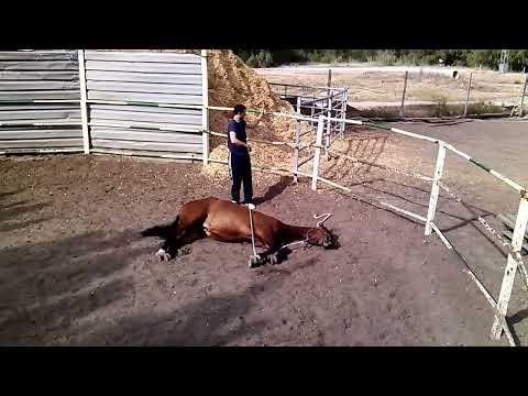 Doma natural - Cómo tumbar un caballo