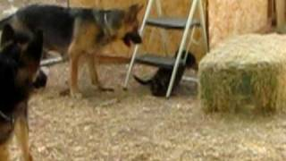 German Shepherd puppies playing with their mom