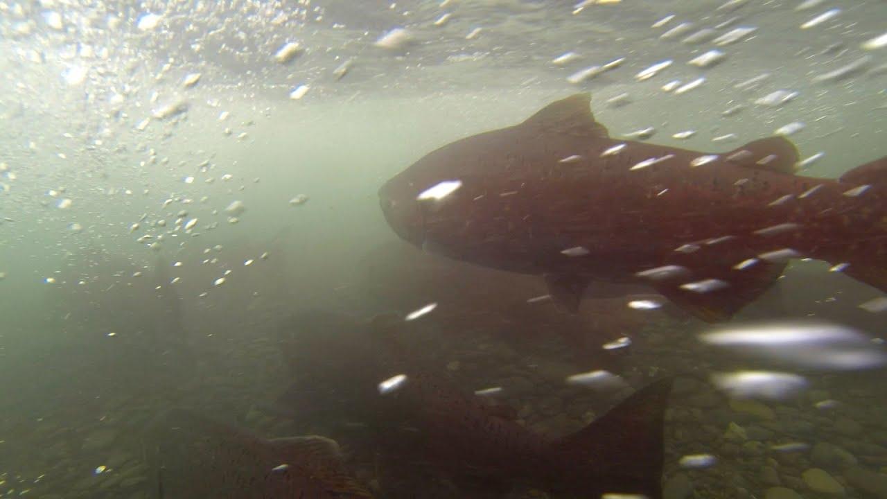 King Salmon return to Ship Creek