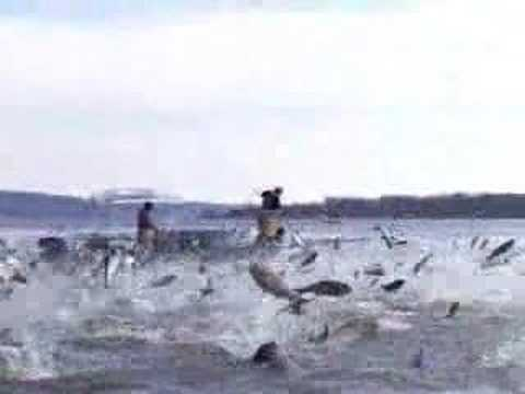Asian Carp Jumping, part 1
