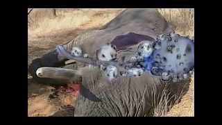 Unidentified creatures killed an elephant.A terrible sight !! Not for the faint hearted !!!
