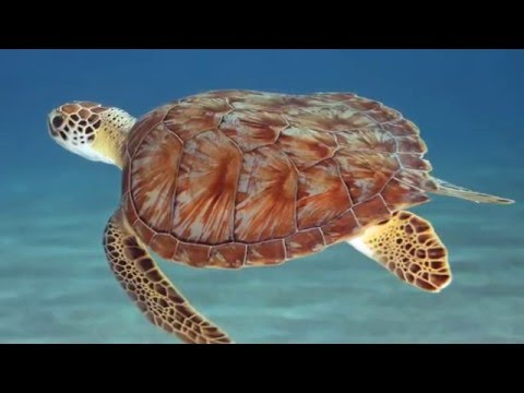 TurtleTracts:Studying Microbiomes to Save Sea Turtles