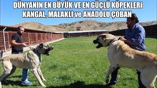 DÜNYANIN EN BÜYÜK ve EN GÜÇLÜ KÖPEKLERİ ( Kangal, Malaklı ve Anadolu Çoban Köpeği ) Biggest Dogs