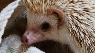 download lagu Hedgehog's Defense Mechanism In Super Slow Motion 240fps gratis