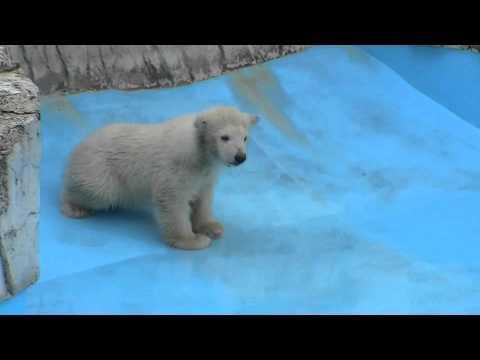 ホッキョクグマの赤ちゃん プールデビューの日1(水に触れる)