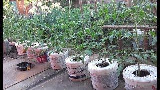 Uprawa pomidorów w wiadrach .