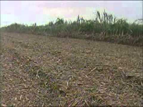 Homem é encontrado morto em canavial próximo à Araguari