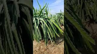 Top cây thu hoạch 1tỷ mỗi năm (phan1)