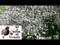Tuto Jardinage Limonium Latifolium Bleu Statice Taille Et Entretien Plante Vivace mp3