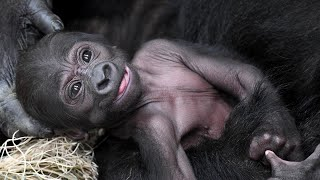 Proud Mama Gorilla Shows Off Her New Baby at Chicago Zoo