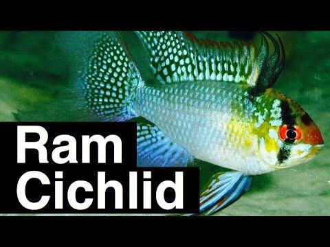 Ram Cichlid Care Tank Mates Size Aquarium Habitat