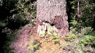 A big sugar pine with rot!